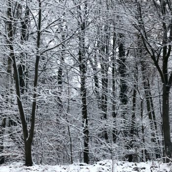 Snowy trees in Poland