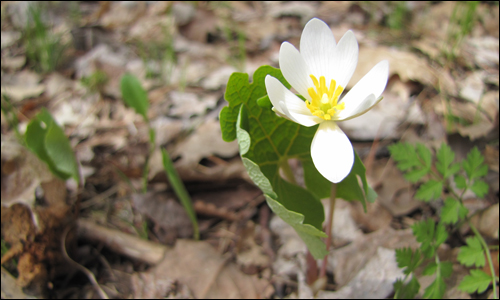 Bloodroot blooming – one of the earliest spring wildflowers. Photo credit: John Smith