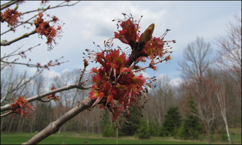 Red maple flowers were opening, and leaves were just beginning to burst from their buds. Photo credit: John Smith