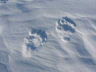bear_tracks.jpg