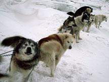 dogs-on-gangline.jpg