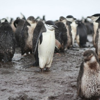 penguin pei